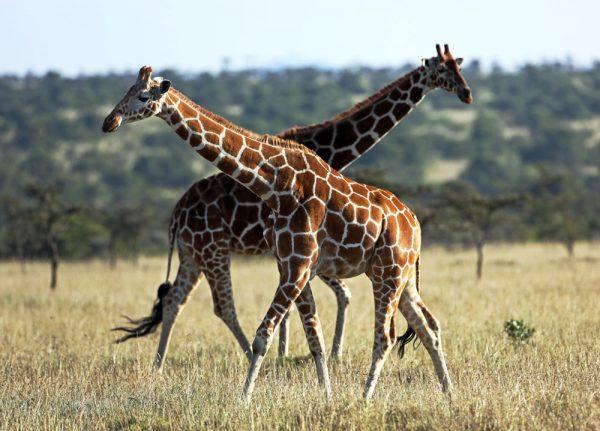 giraffes_web