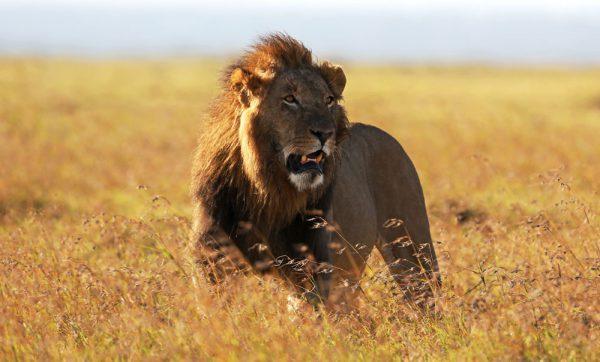 lion_web